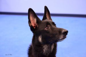 become a dog handler, dog trainer school, az dog smart academy