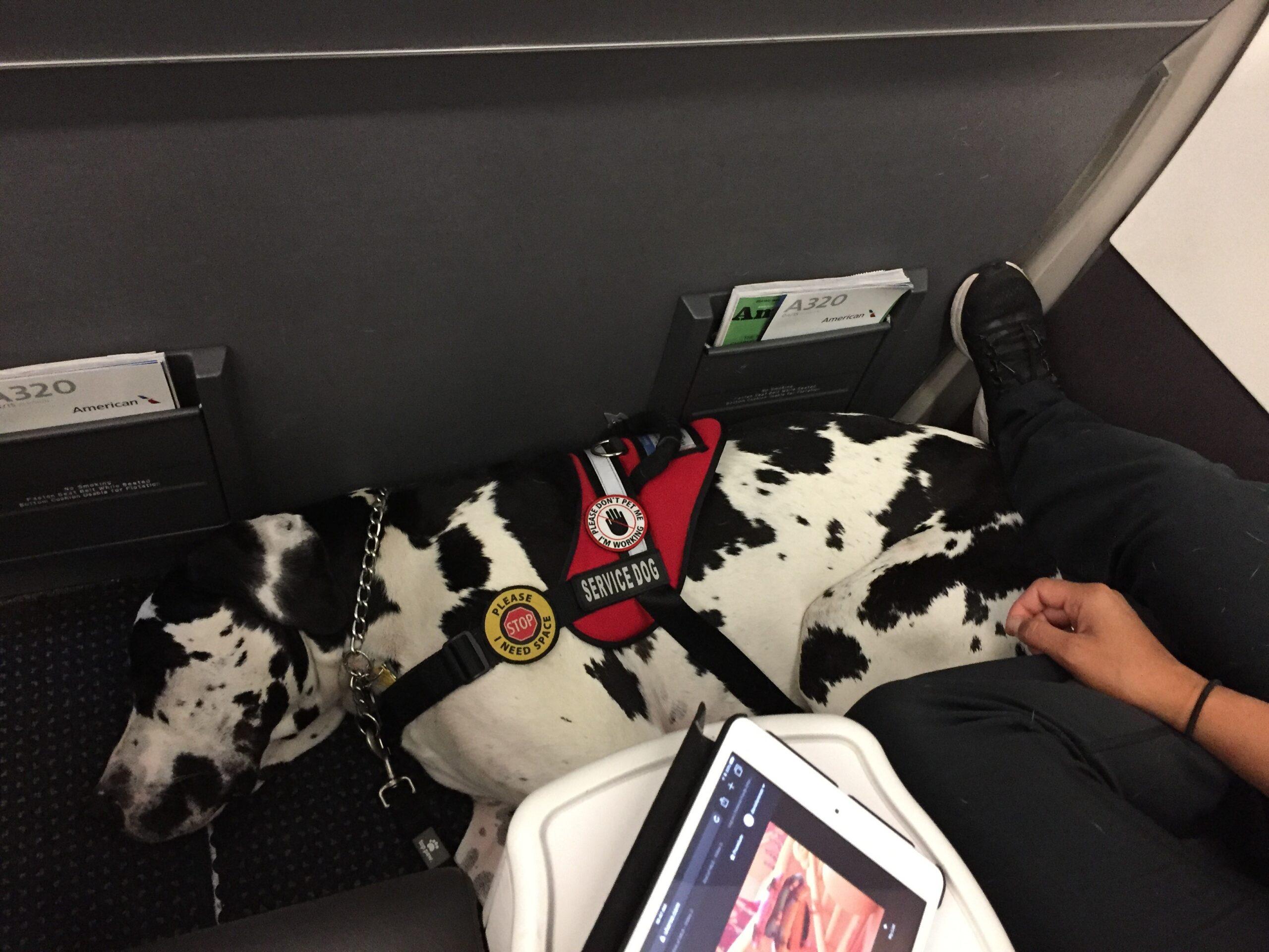 dog on airplane, service dog, travel with dog